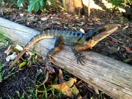 eastern water dragon 1