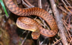 brown tree snake 3