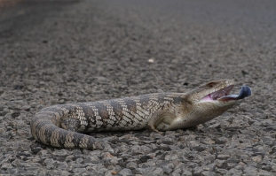 eastern blue-tongued skink 1