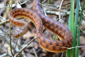 snake looking at camera from bush brush