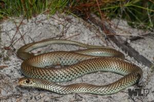 snake on sand near grass