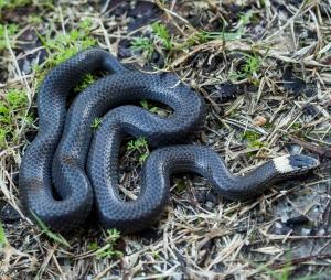 black snake on grassy ground