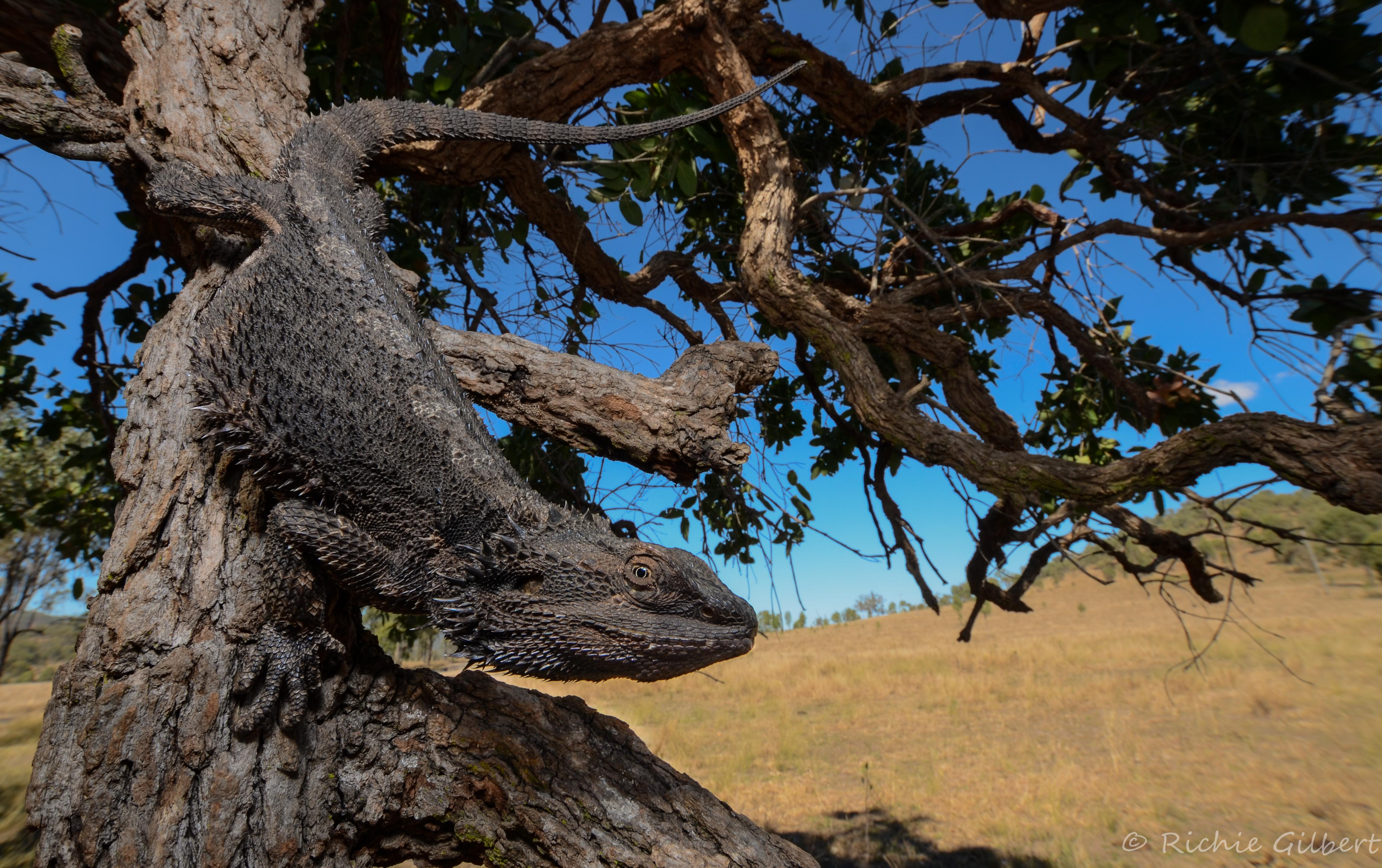 lizard climbing down tree