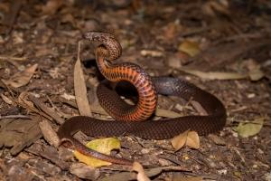 snake lifting off ground