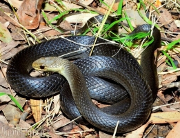 snake curled up on leafy ground