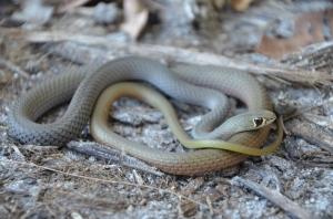snake curled up looking at camera