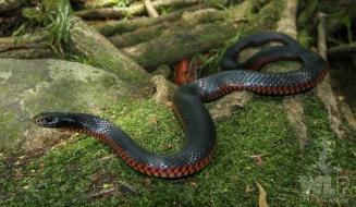 red belly black snake on mossy rock
