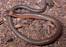 snake on dirt