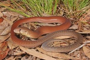 snake on brown leaves