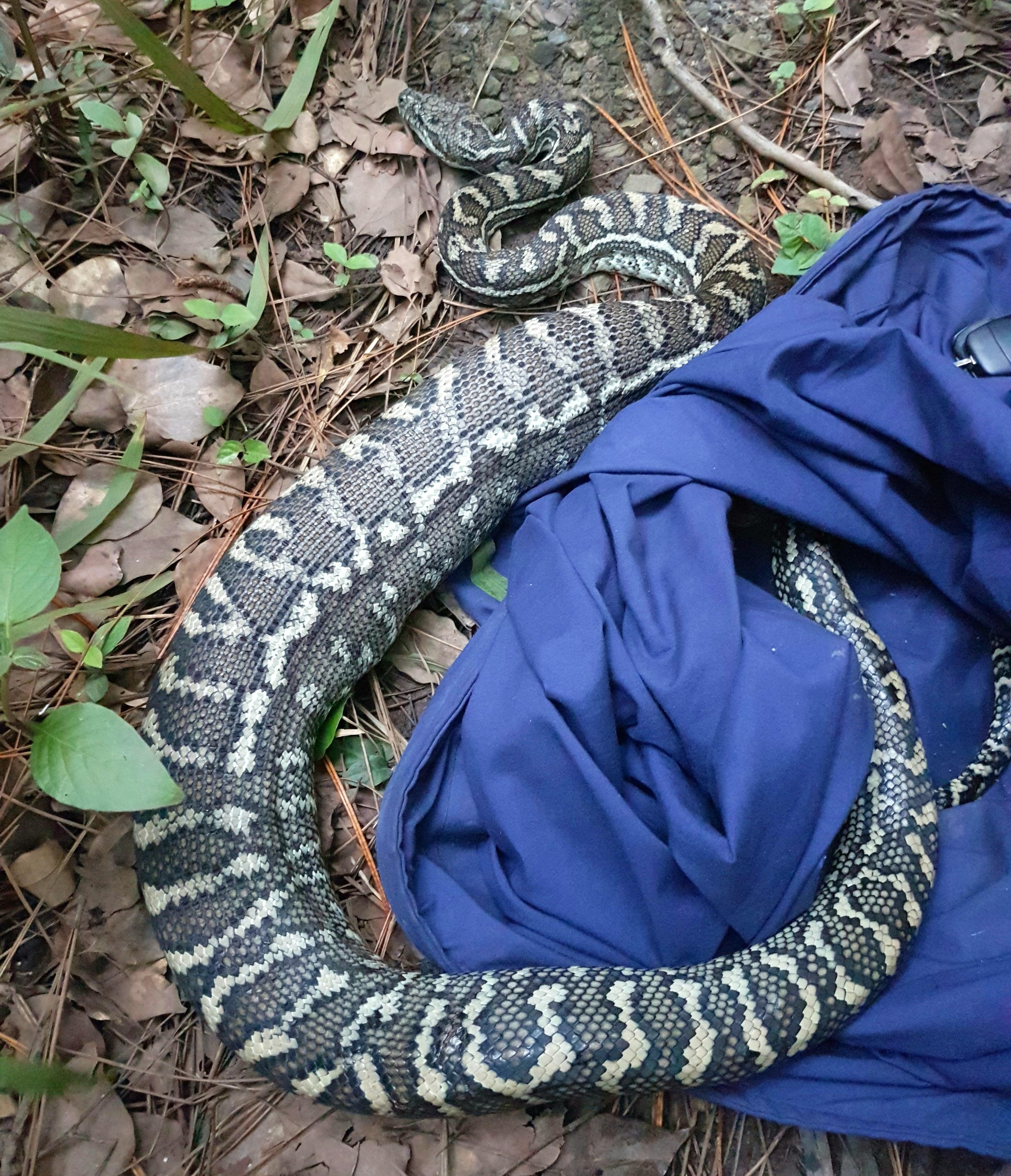 snake sliding out of blue bag