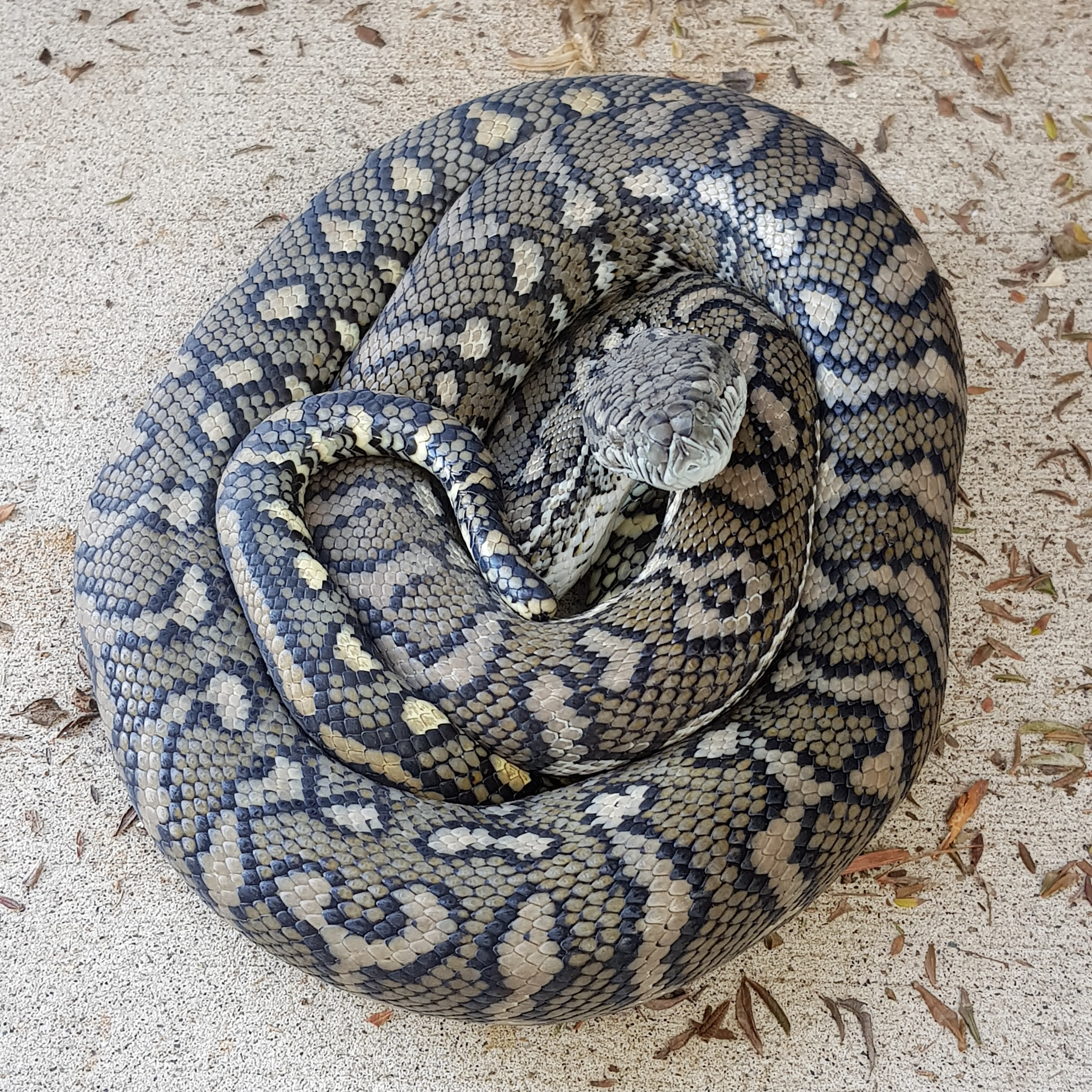 snake curled up